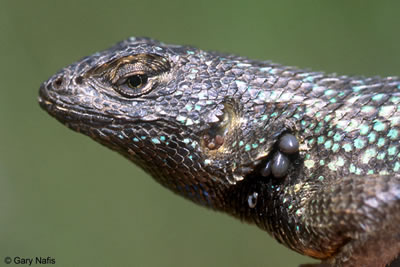 western fence lizard with ticks
